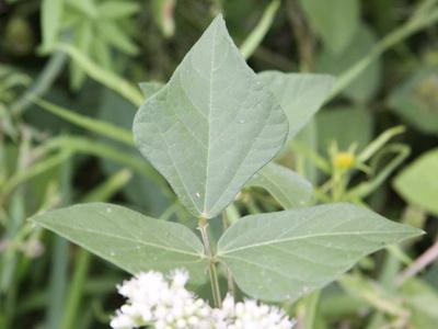 Phaseolus adenanthus/Phaseolus adenanthus