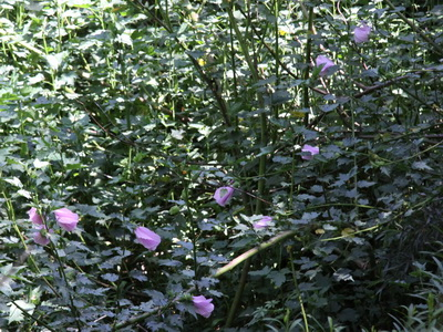 Rosa del río/Striped Rosemallow