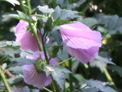 Rosa del río/Striped rosemallow