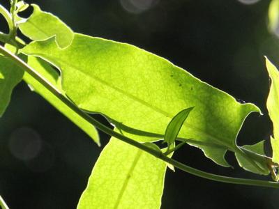 Zarzaparrilla colorada/Muehlenbeckia sagittifolia