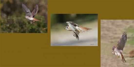Halconcito colorado/American Kestrel