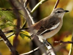 Calandria real/White-banded Mockingbird