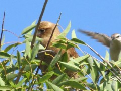 Chimango-calandria/Chimango Caracara/Chalk-browed Mockingbird