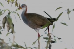 Ipacaá/Giant Wood-Rail