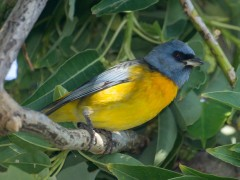 NaranjeroM/Blue-and-yellow TanagerM