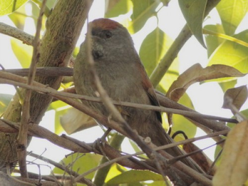 Pijuí plomizo/Chicli Spinetail