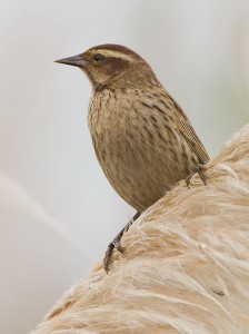 Varillero ala amarillaH/Yellow-winged BlackbirdF