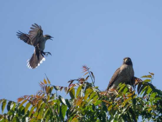 calandria-taguató/Mockingbird/Hawk