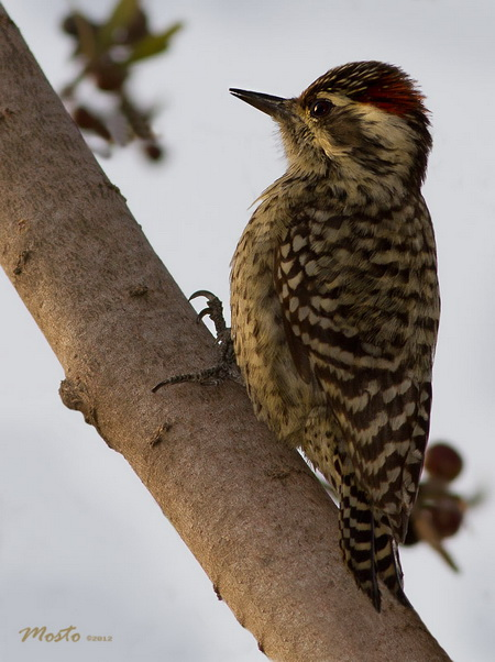 Carpintero bataraz chicoM/Checkered WoodpeckerM