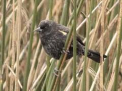 Varillero ala amarillaJ/Yellow-winged BlackbirdJ