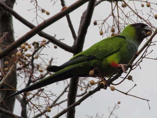 Ñanday/Black-hooded Parakeet