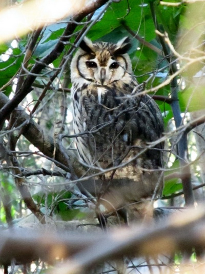 Lechuzón orejudo/Striped Owl