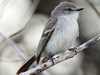 suirirí común/suiriri flycatcher