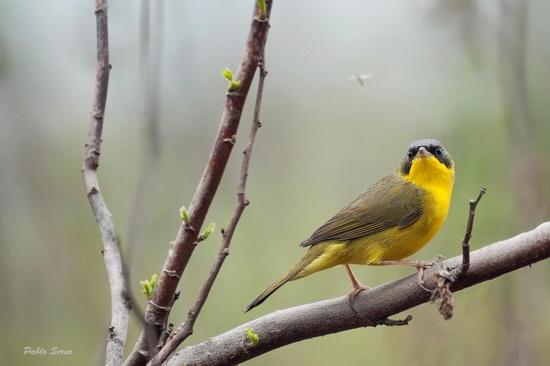 Arañero cara negraM/Masked YellowthroatM