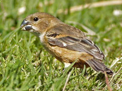 Corbatita dominóH/Rusty-collared SeedeaterF