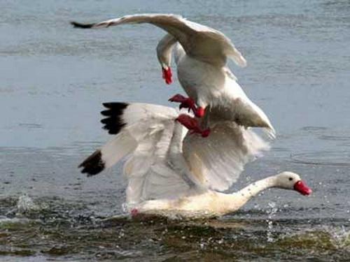 Coscorobas/Coscoroba Swans