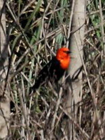 Federal/Scarlet-headed Blackbird
