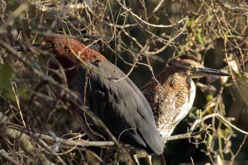 Hocó coloradoR/Rufescent Tiger-HeronB