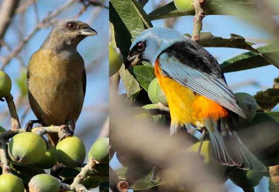 NaranjeroJM/Blue-and-yellow TanagerJM