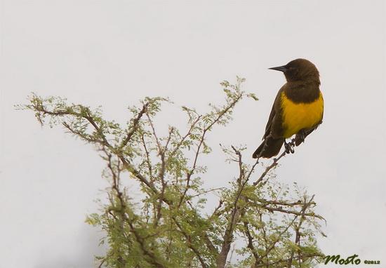 Pecho amarillo/Brown-and-yellow Marshbird