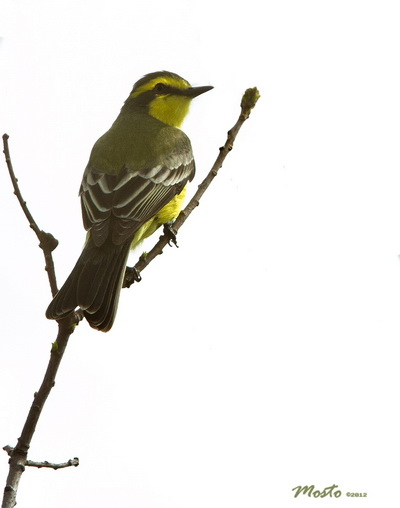 Suiriri amarillo/Yellow-browed Tyrant