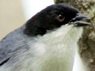 Monterita cabeza negra/Black-capped Warbling- Finch