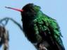 Picaflor comúnM/Glittering-bellied EmeraldM
