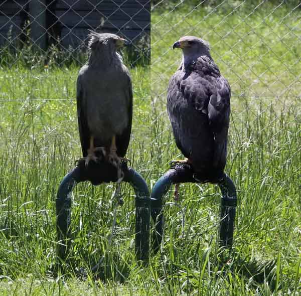 Águila coronada/Crowned Eagle