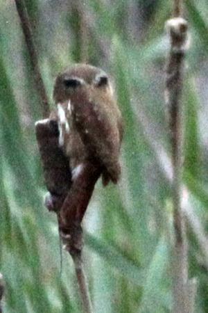 Caburé chico/Ferruginous Pygmy-Owl