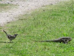 Calandria y lagarto/Mockinbird and lizard