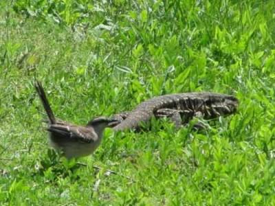 Calandria y lagarto/Mockinbird and lizard