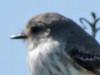 ChurrincheJ/Vermilion FlycatcherJ