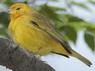 JilgueroM/Saffron Yellow-FinchM