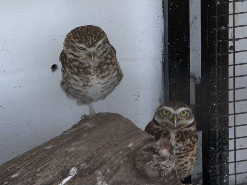 Lechucita vizcachera/Burrowing Owl
