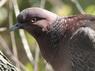 Paloma picazuro/Picazuro Pigeon