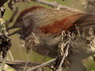 Pijui frente gris/Sooty-fronted Spinetail