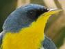 Pitiayumí/Tropical Parula