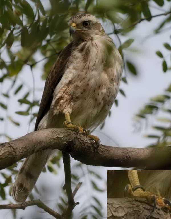 Taguató común anillado/Ringed Roadside Hawk