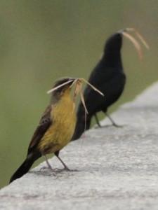 Varillero negroP/Unicolored BlackbirdP