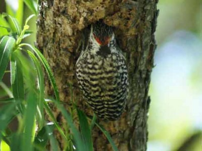 Carpintero bataraz chicoR/Checkered WoodpeckerB