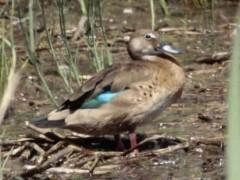 Pato cutirí/Brazilian Duck