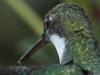 picaflor garganta blanca/white-throated hummingbird