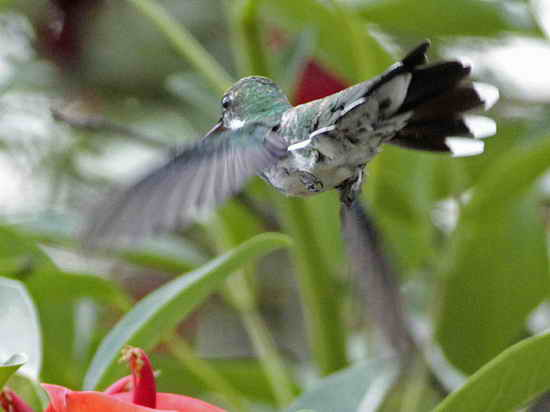 Picaflor garganta blanca/White-throated Hummingbird