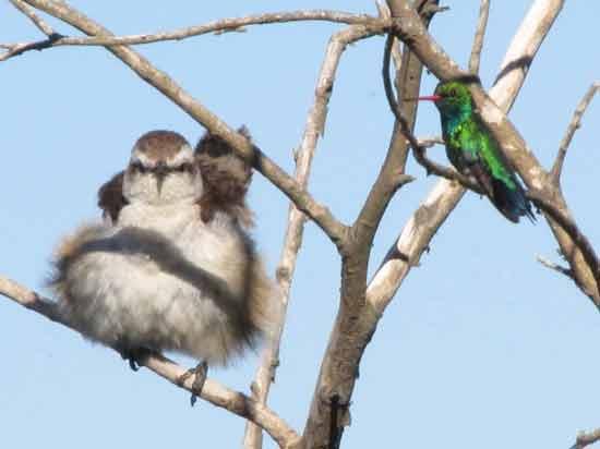 Calandria y picaflor/Mockingbird and Emerald