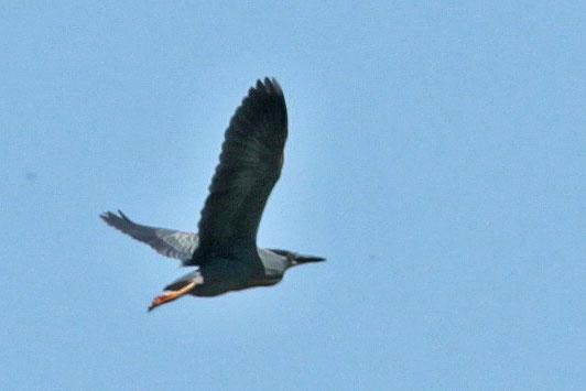 Garcita azulada/Black-crowned Night-Heron