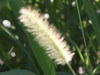 setaria/marsh bristlegrass