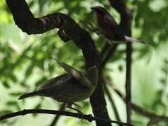 tordo-sietevestidosP/Cowbird/Warbling-FinchP