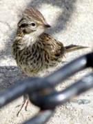 ChingoloJ/Rufouscollared SparrowJ