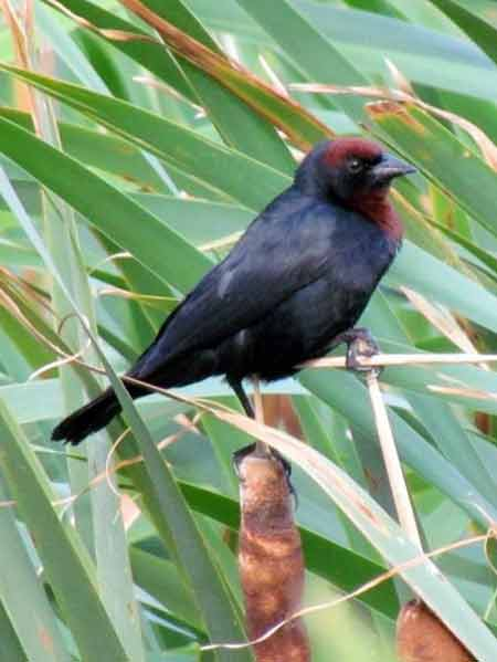 Varillero congoM/Chestnut-capped BlackbirdM