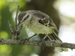 Calandria grandeJ/Chalk-browed MockingbirdJ